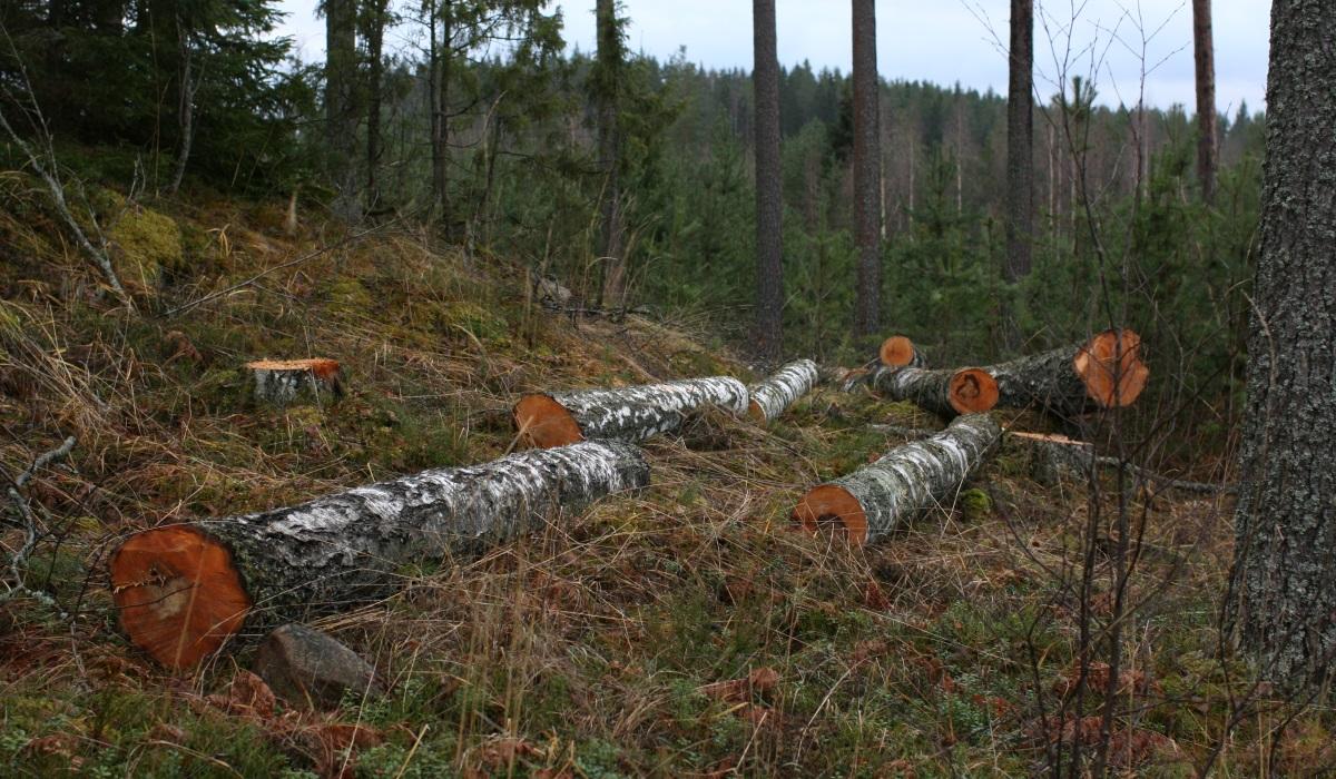 Metsäkone ajaa puita