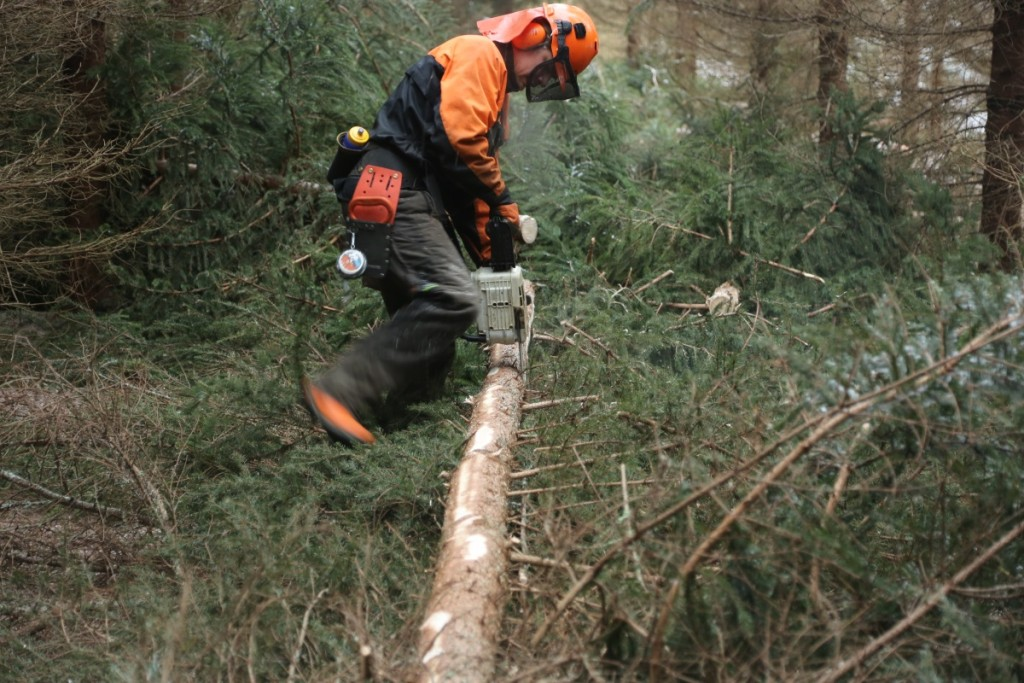 Chainsaw_Spruce_FirstThinning